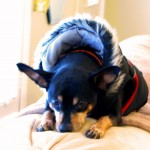 sick miniature pinscher