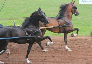Hackney horse parades around the track with its high-stepping trot