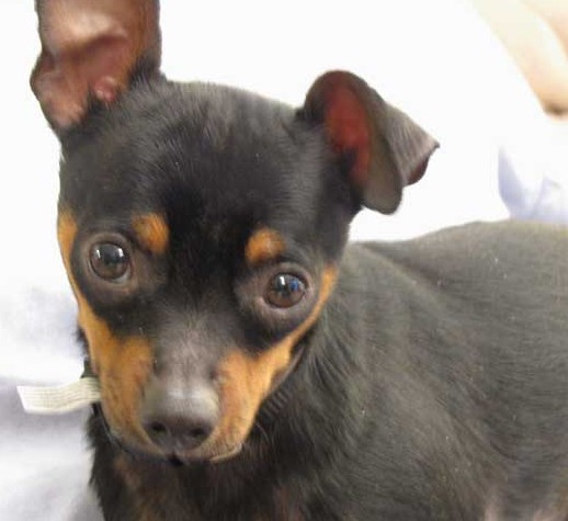 Dog a Chihuahua or Miniature Pinscher