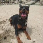 Maddox, a beloved Miniature Pinscher, was lost December 2012.
