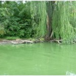 "Surface water affected by blue green algae can have a green ""paint-like"" appearance."""