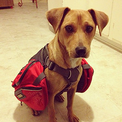 dog wearing back pack
